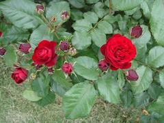 rose20100529-36.JPG