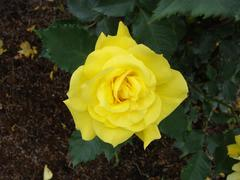 rose20100529-38.JPG