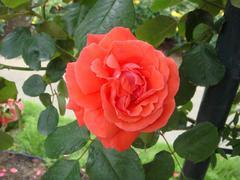 rose20100529-39.JPG