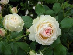 rose20100529-4.JPG