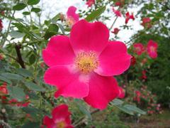 rose20100529-40-2.JPG