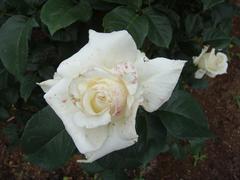 rose20100529-44.JPG