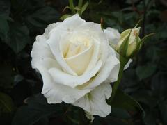 rose20100529-45.JPG