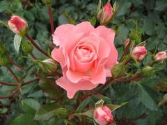 rose20100529-47.JPG