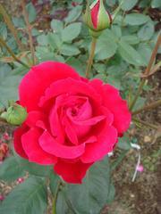 rose20100529-51.JPG