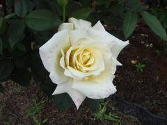 rose20100529-53.JPG
