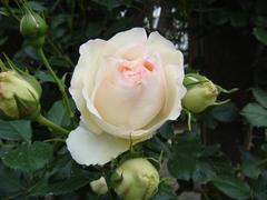 rose20100529-54.JPG