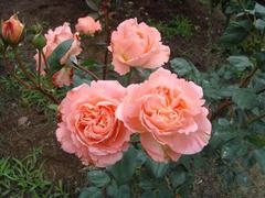rose20100529-57.JPG