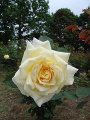 rose20100529-58.JPG