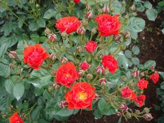 rose20100529-8.JPG