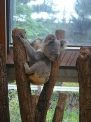 sittig-koala20100618-1.JPG
