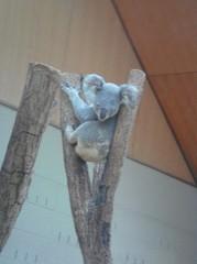 sittig-koala20100618-2.JPG