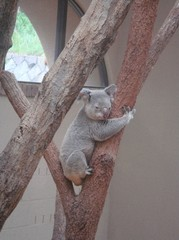 sleeping-koala20100618-1.JPG