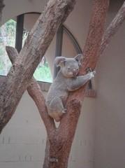 sleeping-koala20100618-2.JPG