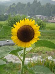 sunflower20100801-1.JPG