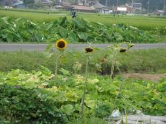 sunflower20100801-2.JPG